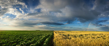 Panorama of young sunflower and wheat fields