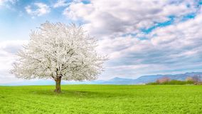 Panorama z pojedynczym czereśniowym drzewem na łące zdjęcia stock