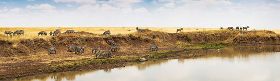 Panorama of Zebra on Mara river in Africa. Panoramic photo of a herd of buffalo grazing on grass along the bank of the Mara river in Kenya, Africa Royalty Free Stock Images