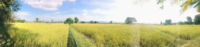 Panoramaansicht am Reisfeld stockbilder