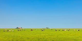 Panoramabild von Milchkühen in der niederländischen Provinz von Friesland Stockfotografie