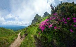 Panoramablick des Bergs Ciucas auf Sommer mit wildem Rhododendron Stockfoto