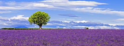 Panoramablick des Lavendelfeldes mit Baum Stockbilder