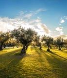 Panoramablick des Sonnenuntergangs hinter Rasenfläche und Olivenbäumen Stockfotografie
