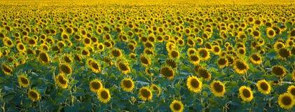 Panoramablick eines grünen Feldes der Sonnenblume mit den blühenden Blumen verwiesen auf die Sonne lizenzfreie stockbilder