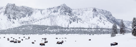Panoramablick von Büffeln im Winter in Yellowstone-Park Stockfoto