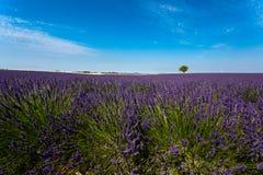 Panoramablick von Lavendelfeldern Lizenzfreies Stockbild
