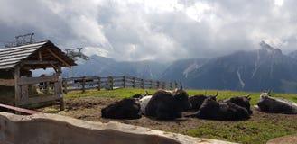 Panoramaestivo Montano Alpi italiane bedriegt mucche stock fotografie