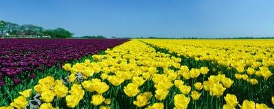 Panoramafeld der Tulpen Lizenzfreies Stockbild