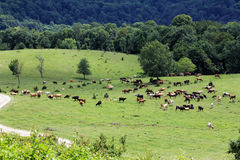Panoramakühe und -pferde, die am Wiesensommertag weiden lassen Lizenzfreie Stockbilder