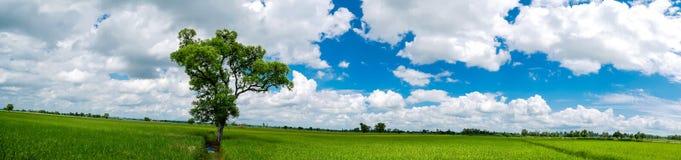 Panoramalandschaft Der große Baum des Schattens, der auf dem Reisgebiet steht Lizenzfreies Stockfoto