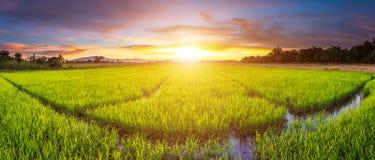 Panoramalandschaft des Reisfeldes und des schönen Himmelsonnenuntergangs lizenzfreie stockbilder