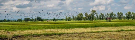 Panoramalandschaft Eine Menge der Taube und der mynas auf dem Reisgebiet thailand stockfotos