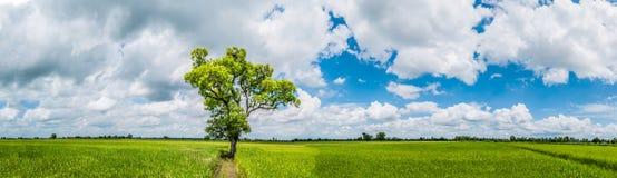 Panoramalandschaft Erstaunlich und schön der große Baum des Schattens, der auf dem grünen Reisgebiet mit den frischen grünen Büsc Stockbild