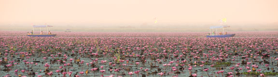 Panoramamening van mooie Roze Waterlelie op meer in Thailand Stock Foto