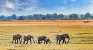 Panoramasikt av södra Luangwa slättar med en flock av elefanter som går över det torra gula gräset arkivbild