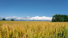Panoramautsikt av den guld- risfältet i Biei royaltyfri bild