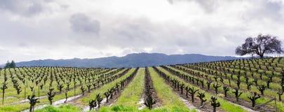 Panoramautsikt av en vingård i den Sonoma dalen i början av våren, Kalifornien arkivbilder