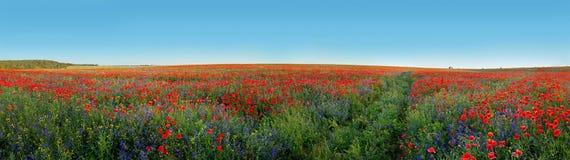 Panoramautsikt av fältet som täckas med blommavallmo och klockor Arkivbild