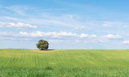 Panoramautsikt av holmeken som isoleras på ett grönt vetefält, under en ren blå himmel arkivfoton