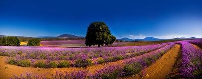 Panoramautsikt av lavendelfält royaltyfria bilder