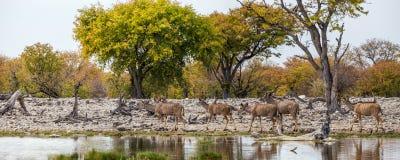 Panoramautsikt av större Kudu flock som går på waterhole arkivbild