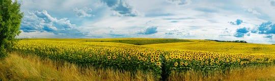 Panoramautsikt på solrosfält Arkivfoto