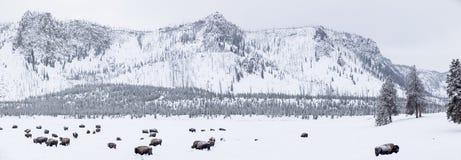 Panoramautsikten av bufflar i vinter i Yellowstone parkerar Arkivfoto