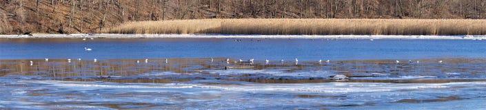 Panoramavattenfågel på lågvatten royaltyfri bild