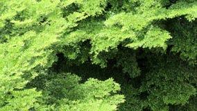 Panoramavogelperspektive der schönen Sommerbrise auf Naturgrün lässt Videoaufnahmenclip stock video footage