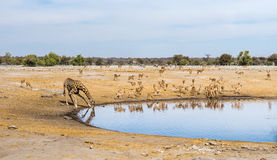Panoramc view of Chudop waterhole with a drinking giraffe and black faced impala herd Royalty Free Stock Photo