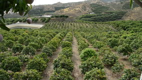 Panoramic in a agricultural plantation of mango tropical fruit full of fruit trees. Mangoes tropical fruit hanging at tree, panoramic stock footage