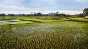 Panoramic agriculture view of green rice fields. Panoramic agriculture view of green rice fields at midday with nobody around, Bajawa Ruteng Indonesia Royalty Free Stock Images