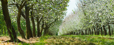 Panoramic apple tree orchard with flowers. Panoramic orchard with white flowers Royalty Free Stock Photos