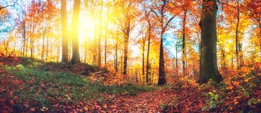 Panoramic autumn forest landscape stock image