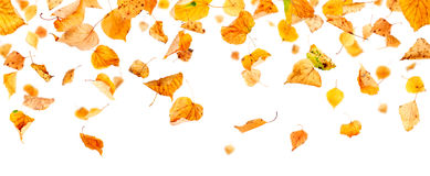 Panoramic Autumn Leaves. Autumn leaves falling and spinning isolated on white background Royalty Free Stock Image