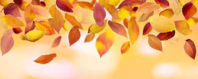Panoramic Autumn Leaves Stock Images