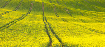 Panoramic background of beautiful yellow-green floral canola fie Royalty Free Stock Images