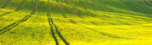 Panoramic background of yellow-green floral field Stock Photos