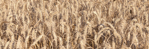Panoramic banner of ears of wheat, Triticum aestivum,  ready for. Harvesting  taken on the day the crop was harvested Royalty Free Stock Image