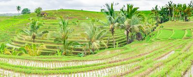 Panoramic beautiful view of green rice terraces. ?gronomic indonesian natural background. Panoramic beautiful view of green rice terraces. ?gronomic indonesian stock image