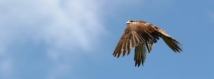 Panoramic bird Royalty Free Stock Photography