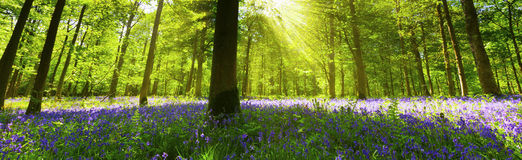 Panoramic Bluebell Wood Stock Photos
