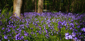 Panoramic Bluebell wood with trees. Trees and bluebells in wood near edinburgh, scotland, united kingdom Stock Images