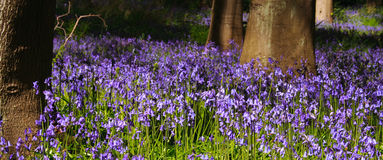 Panoramic Bluebell wood with trees close-up. Trees and bluebells in wood near edinburgh, scotland, united kingdom Royalty Free Stock Image