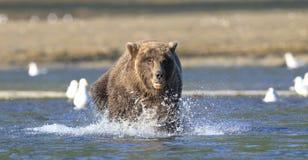 Panoramic of brown bear running in river. Panoramic of brown bear in river Royalty Free Stock Images