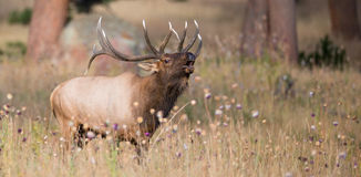Panoramic of a bugling bull elk Royalty Free Stock Photography