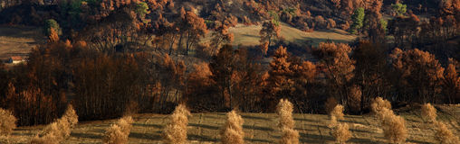 Panoramic burned Landscape. Panoramic view of a hill with burned trees Royalty Free Stock Image
