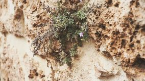 Panoramic camera. Texture of an old wall with plants and flowers. The concept of life. Slow motion stock video