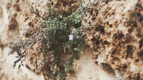 Panoramic camera. Texture of an old wall with plants, flowers and hand. The concept of life. Panoramic camera. Texture of an old wall with plants and flowers stock video footage